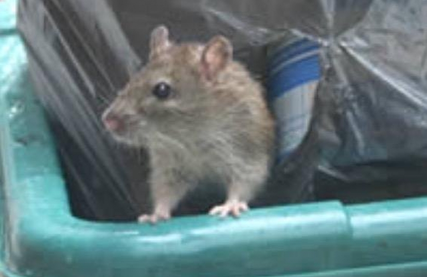 RAT IN REFUSE BIN